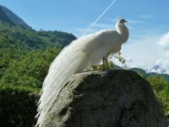 white-peacock-1987968_640